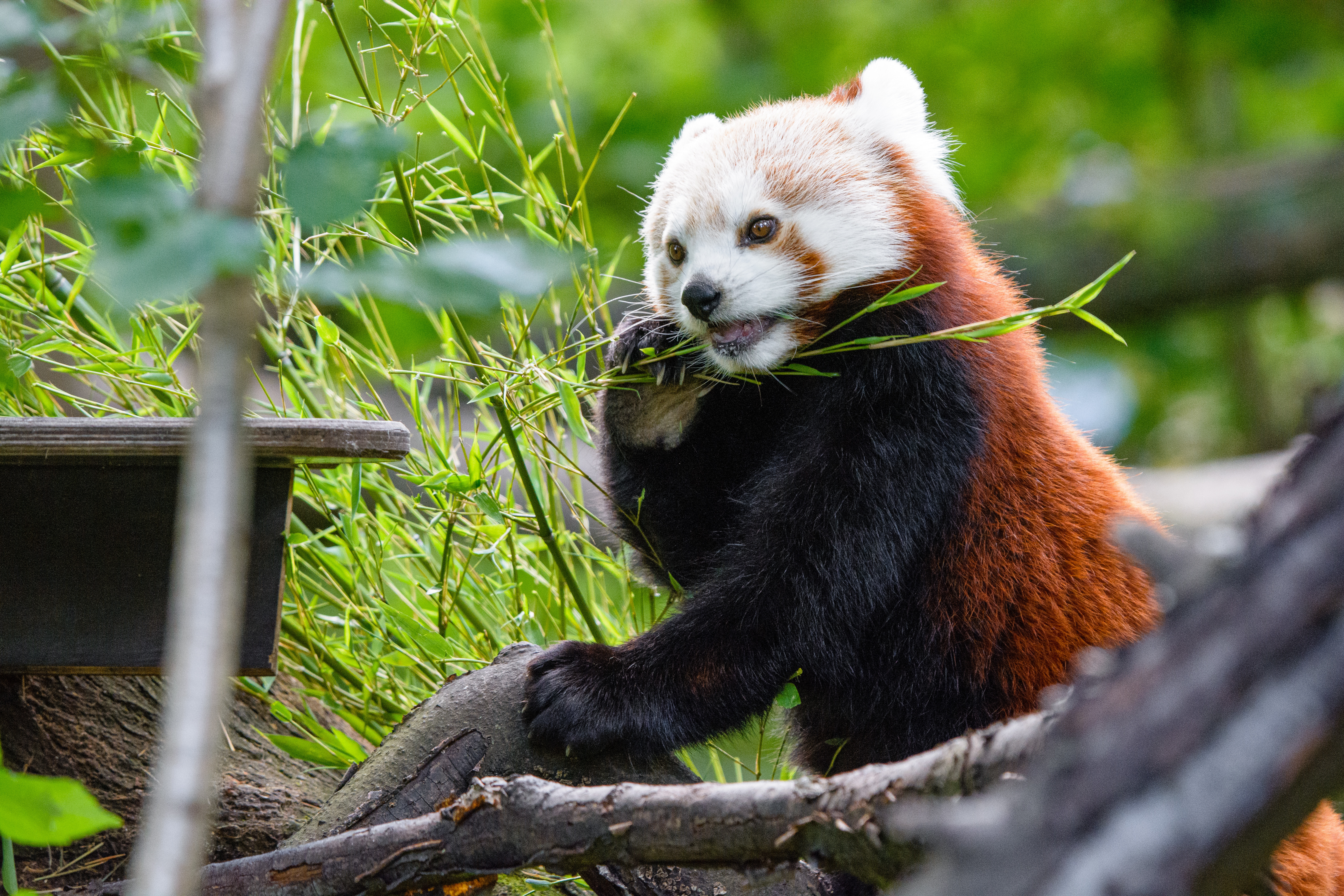 145499 download wallpaper Animals, Red Panda, Panda, Bamboo, Funny, Wood, Tree screensavers and pictures for free
