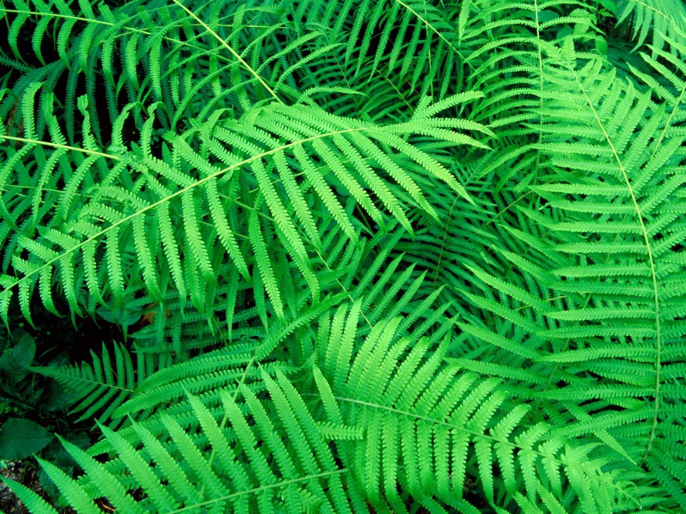 37698 Hintergrundbild herunterladen Pflanzen, Blätter, Farne - Bildschirmschoner und Bilder kostenlos