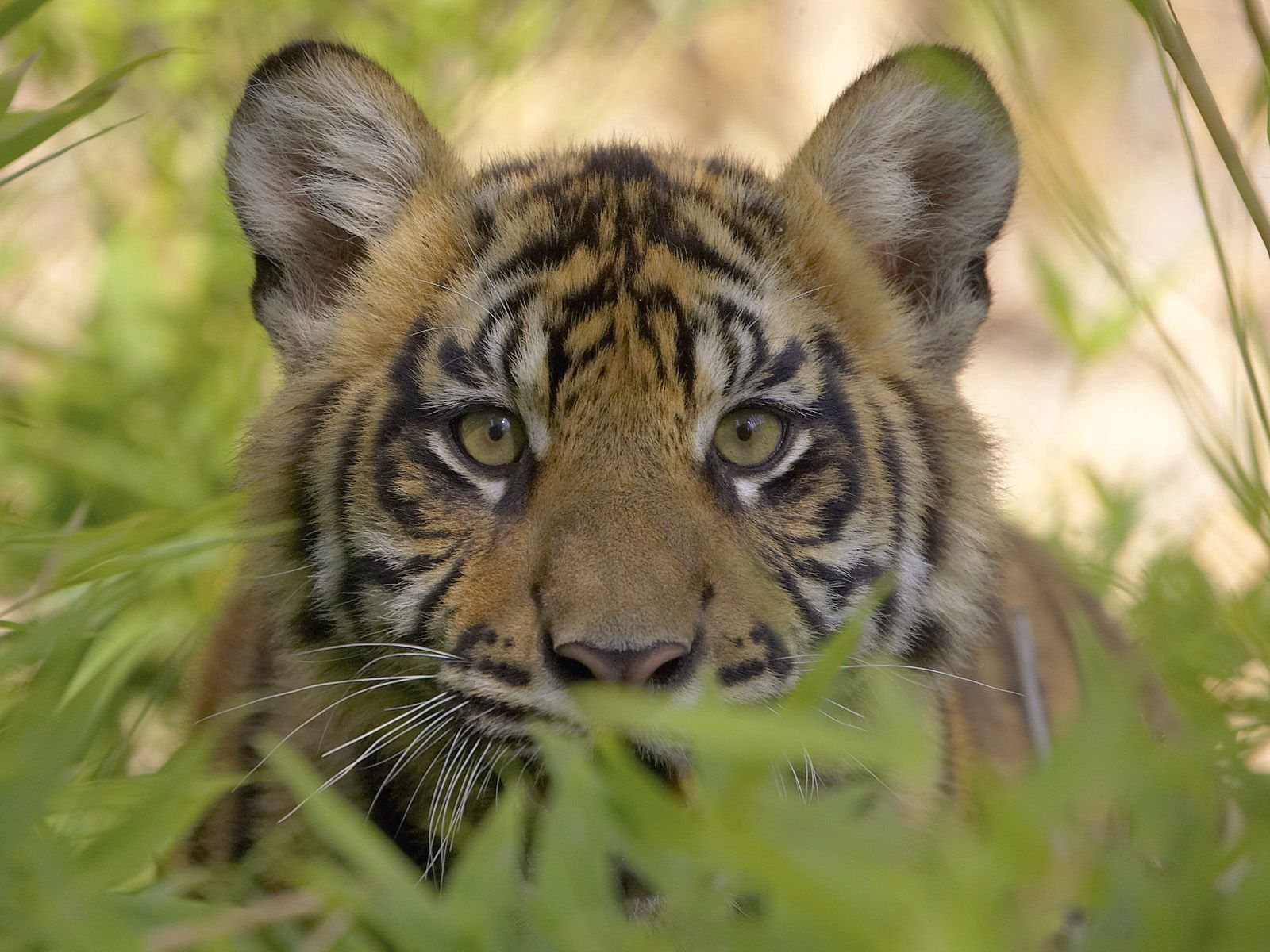52868 download wallpaper Animals, Tiger, Muzzle, Grass, Predator, Young, Joey screensavers and pictures for free