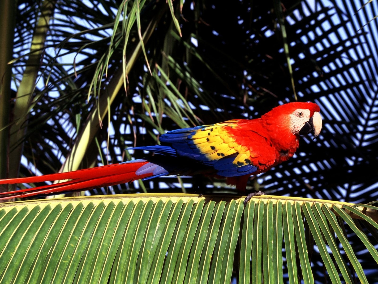 7795 download wallpaper Animals, Birds, Parrots screensavers and pictures for free