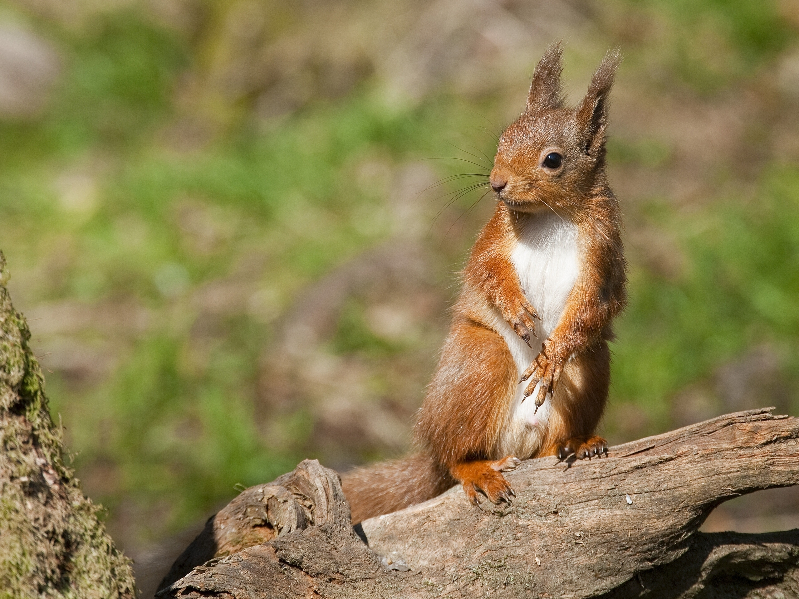 123404 Screensavers and Wallpapers Squirrel for phone. Download Animals, Squirrel, Animal, Paws, Log pictures for free