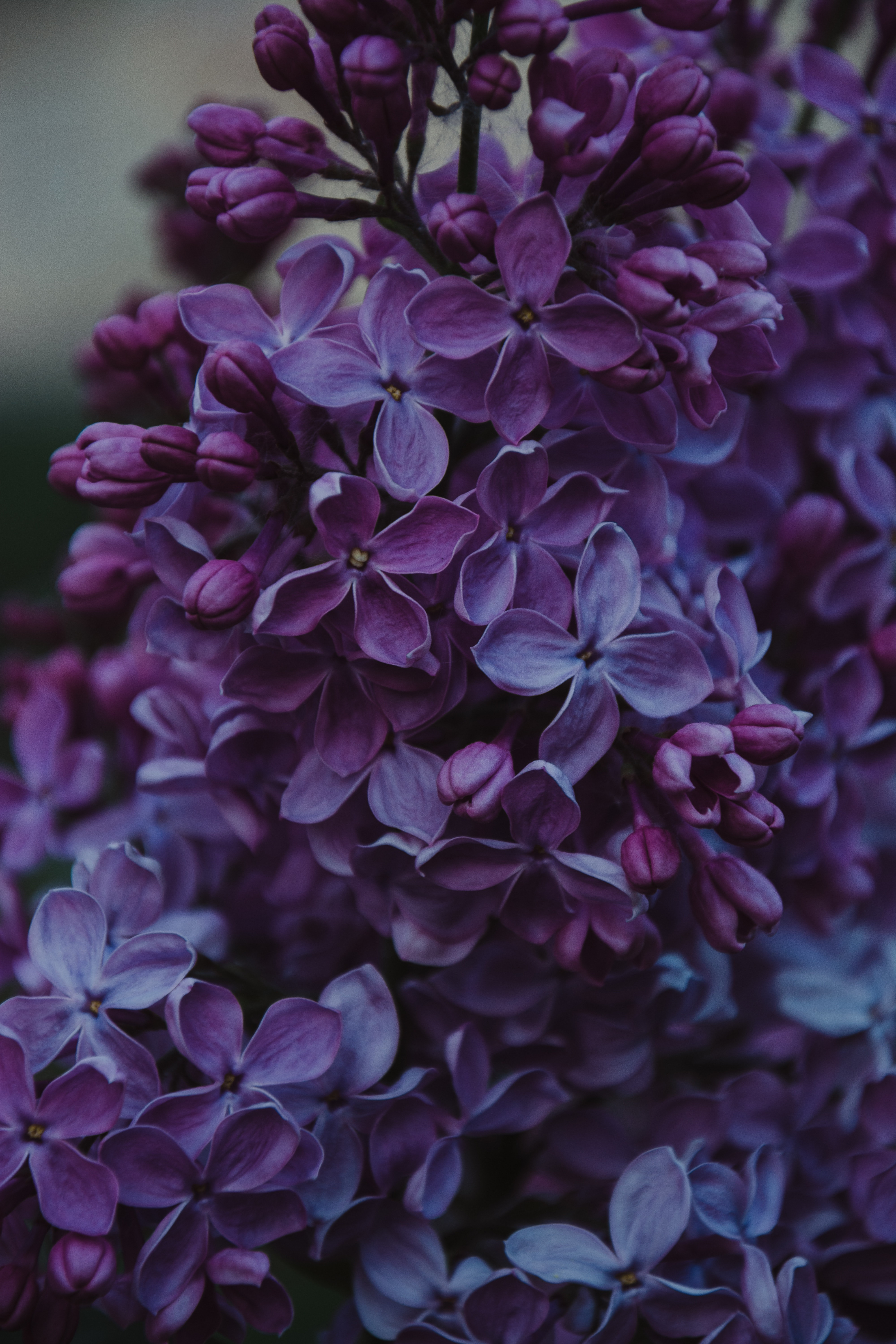 52404 Screensavers and Wallpapers Lilac for phone. Download Flowers, Lilac, Bush, Inflorescences, Inflorescence pictures for free