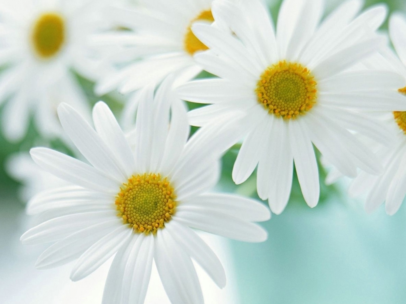 48415 download wallpaper Plants, Flowers, Camomile screensavers and pictures for free