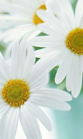 48415 télécharger le fond d'écran Plantes, Fleurs, Camomille - économiseurs d'écran et images gratuitement