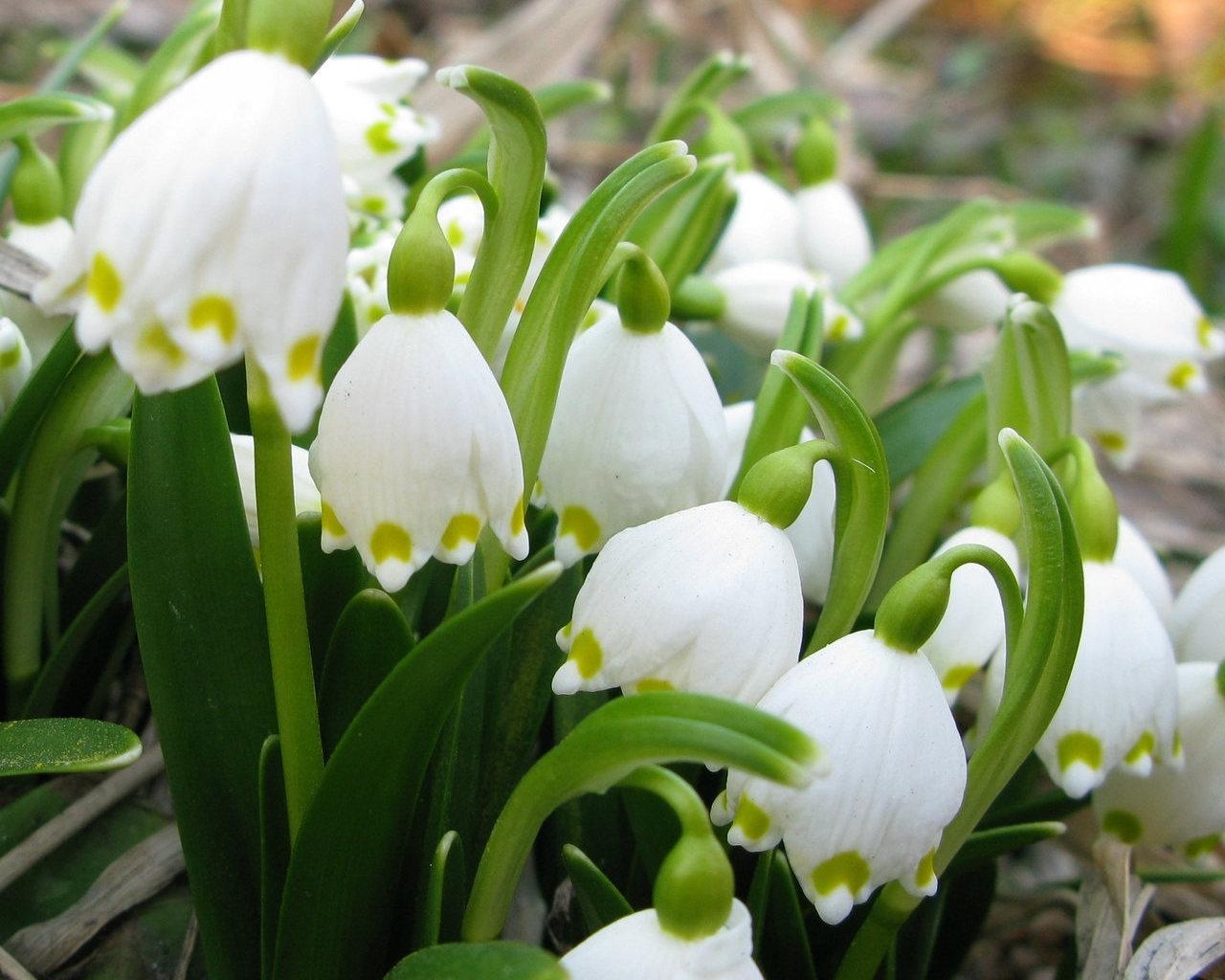 8901 免費下載壁紙 植物, 花卉, 铃兰 屏保和圖片