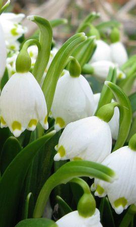 8901 скачать обои Растения, Цветы, Ландыши - заставки и картинки бесплатно