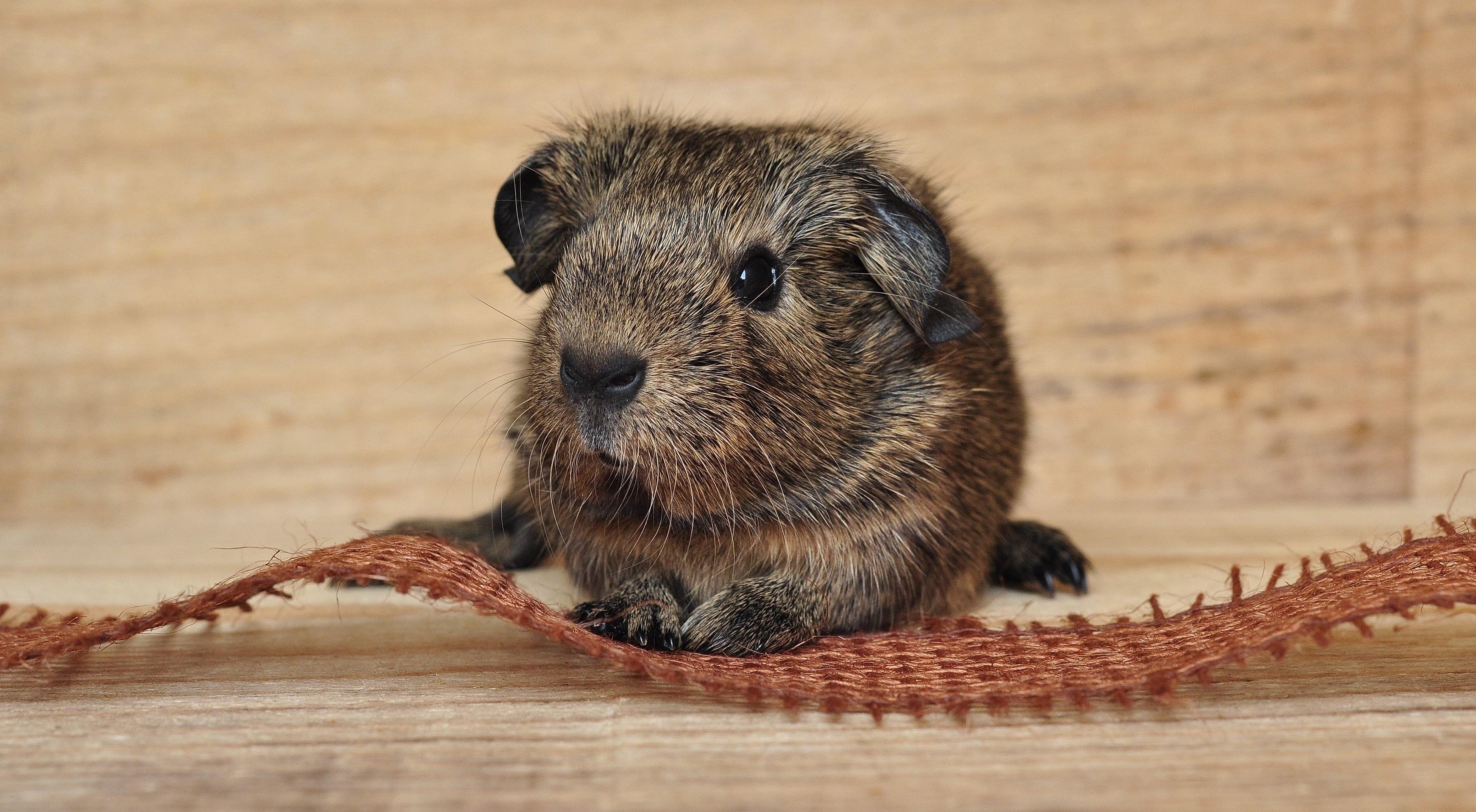 124099 download wallpaper Animals, Guinea Pig, Rodent, Muzzle screensavers and pictures for free