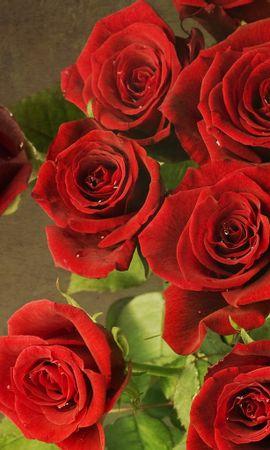 16232 descargar fondo de pantalla Plantas, Flores, Roses: protectores de pantalla e imágenes gratis