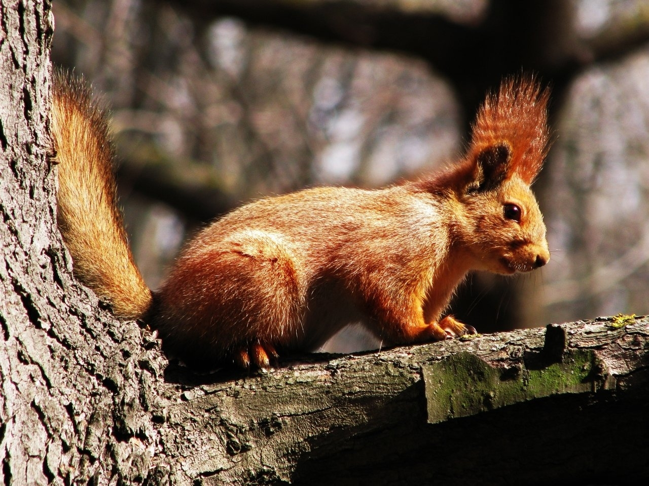 40698 download wallpaper Animals, Squirrel screensavers and pictures for free