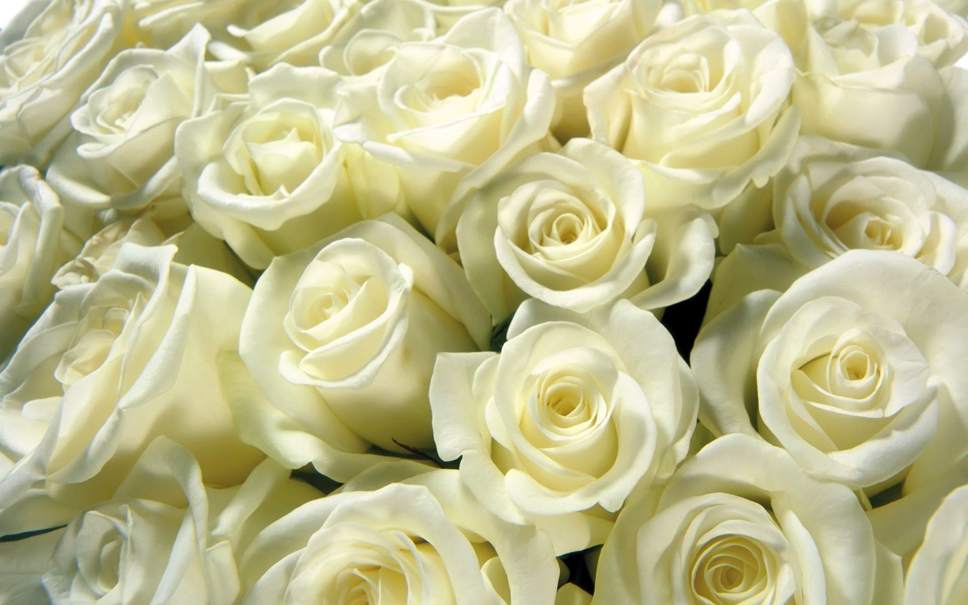 88449 скачать обои Розы, Макро, Бутон, Белый, Много - заставки и картинки бесплатно