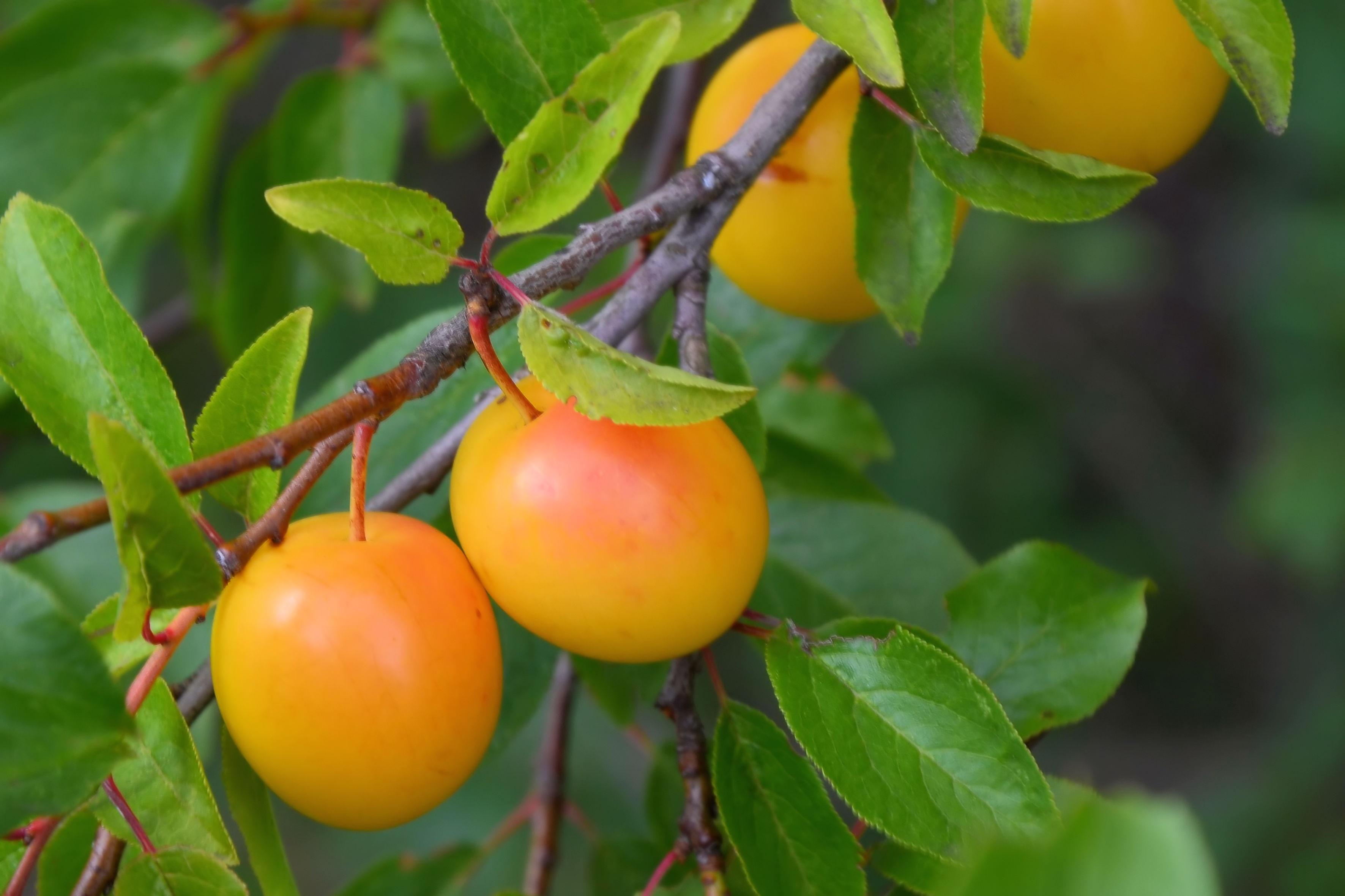 125927 Hintergrundbild herunterladen Lebensmittel, Obst, Plum, Ast, Zweig, Frucht, Reif - Bildschirmschoner und Bilder kostenlos