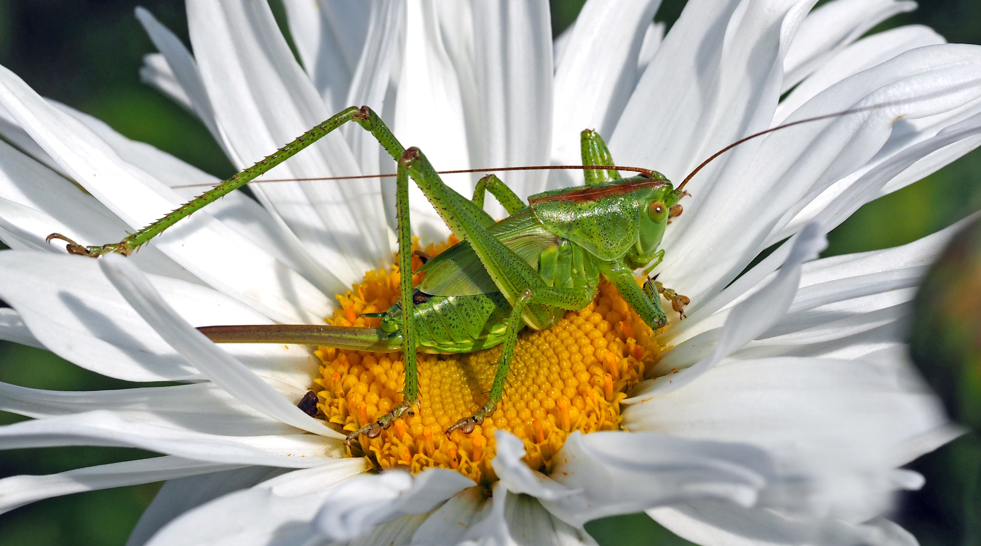 88668 download wallpaper Macro, Flower, Grasshopper, Chamomile, Camomile, Insect screensavers and pictures for free