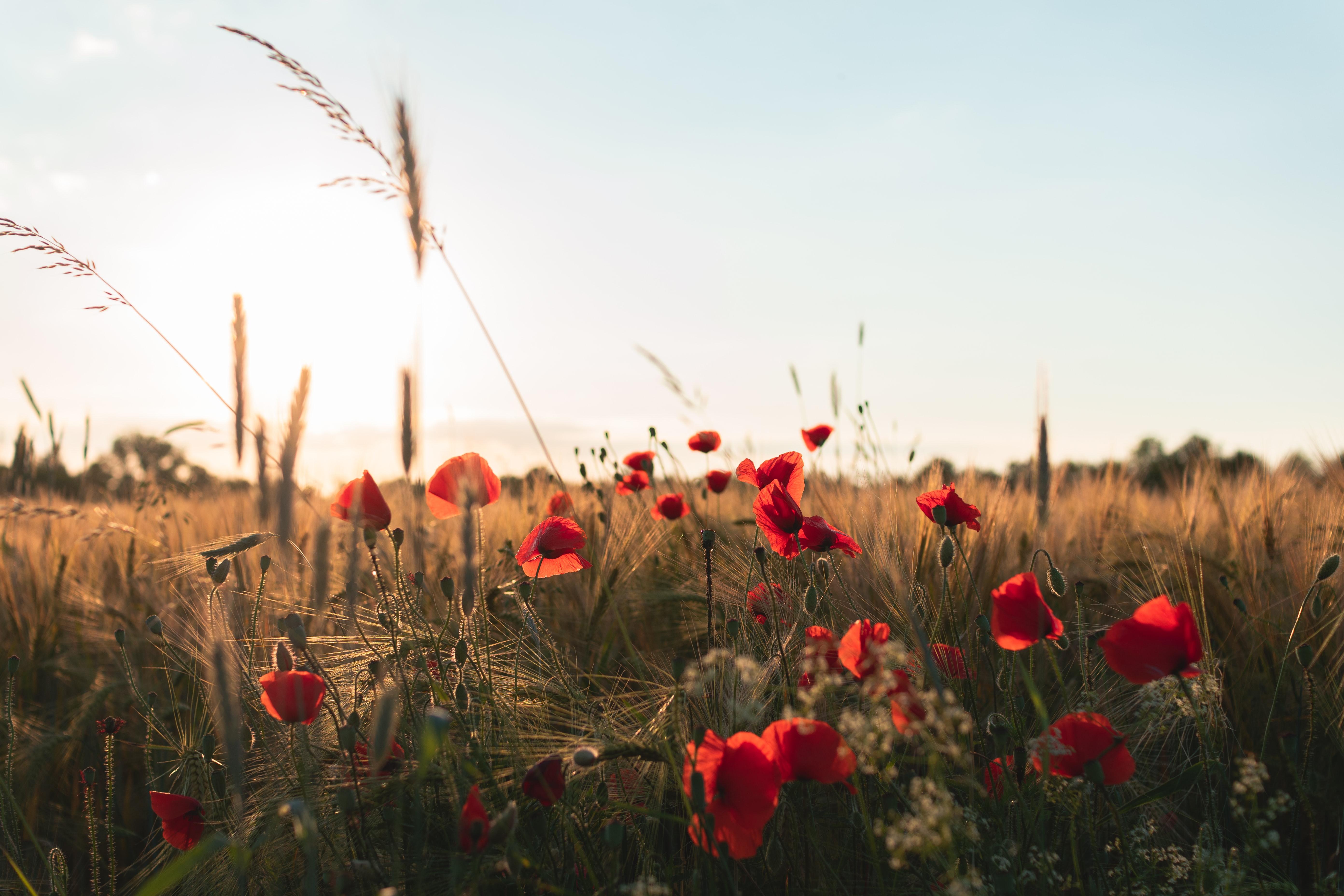 110052 скачать обои Цветы, Маки, Полевые Цветы, Трава - заставки и картинки бесплатно