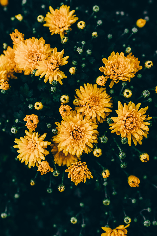 140709 скачать обои Цветы, Желтый, Цветение, Растение, Хризантемы - заставки и картинки бесплатно