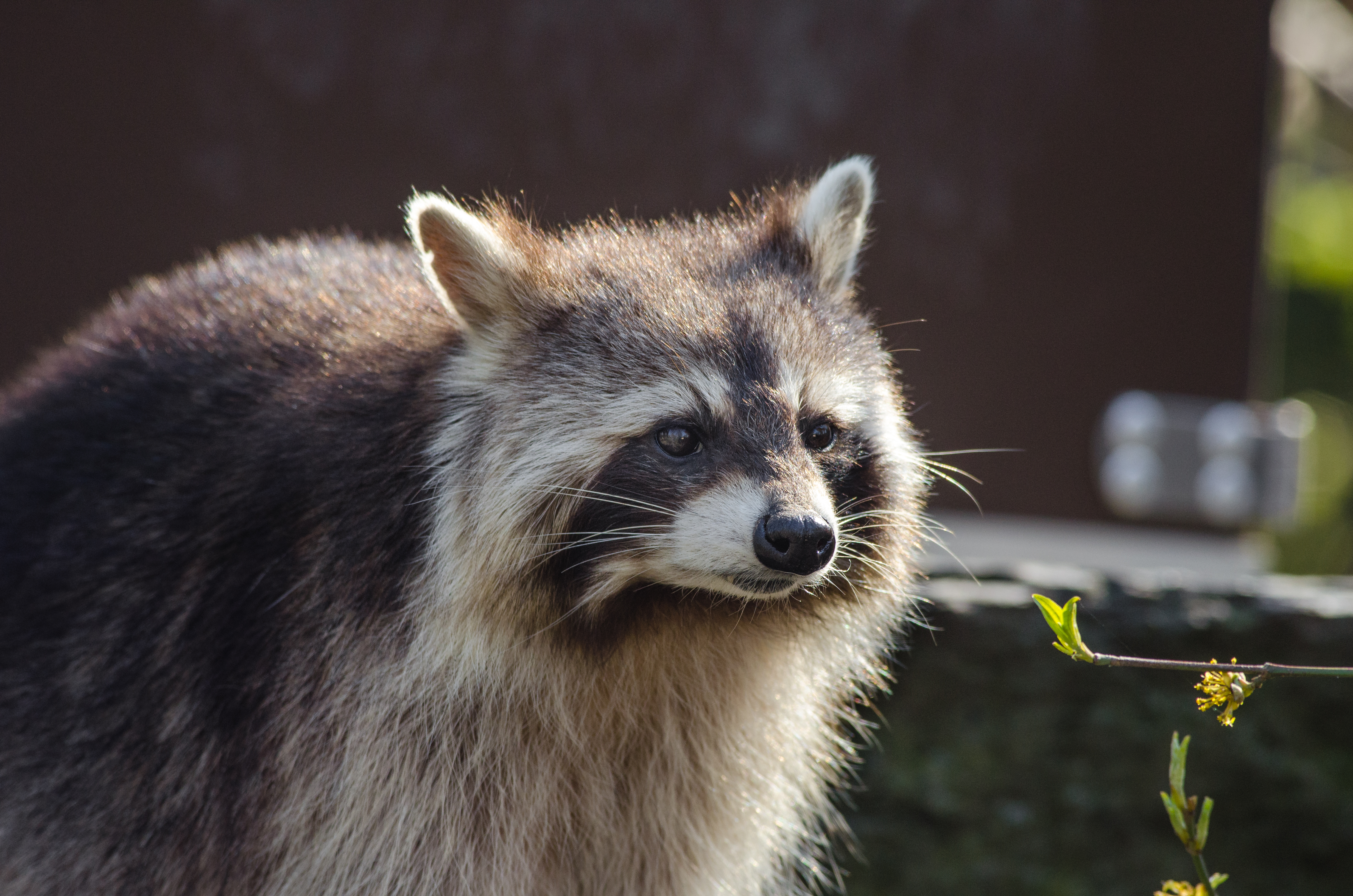 139040 Screensavers and Wallpapers Raccoon for phone. Download Animals, Muzzle, Striped, Raccoon pictures for free