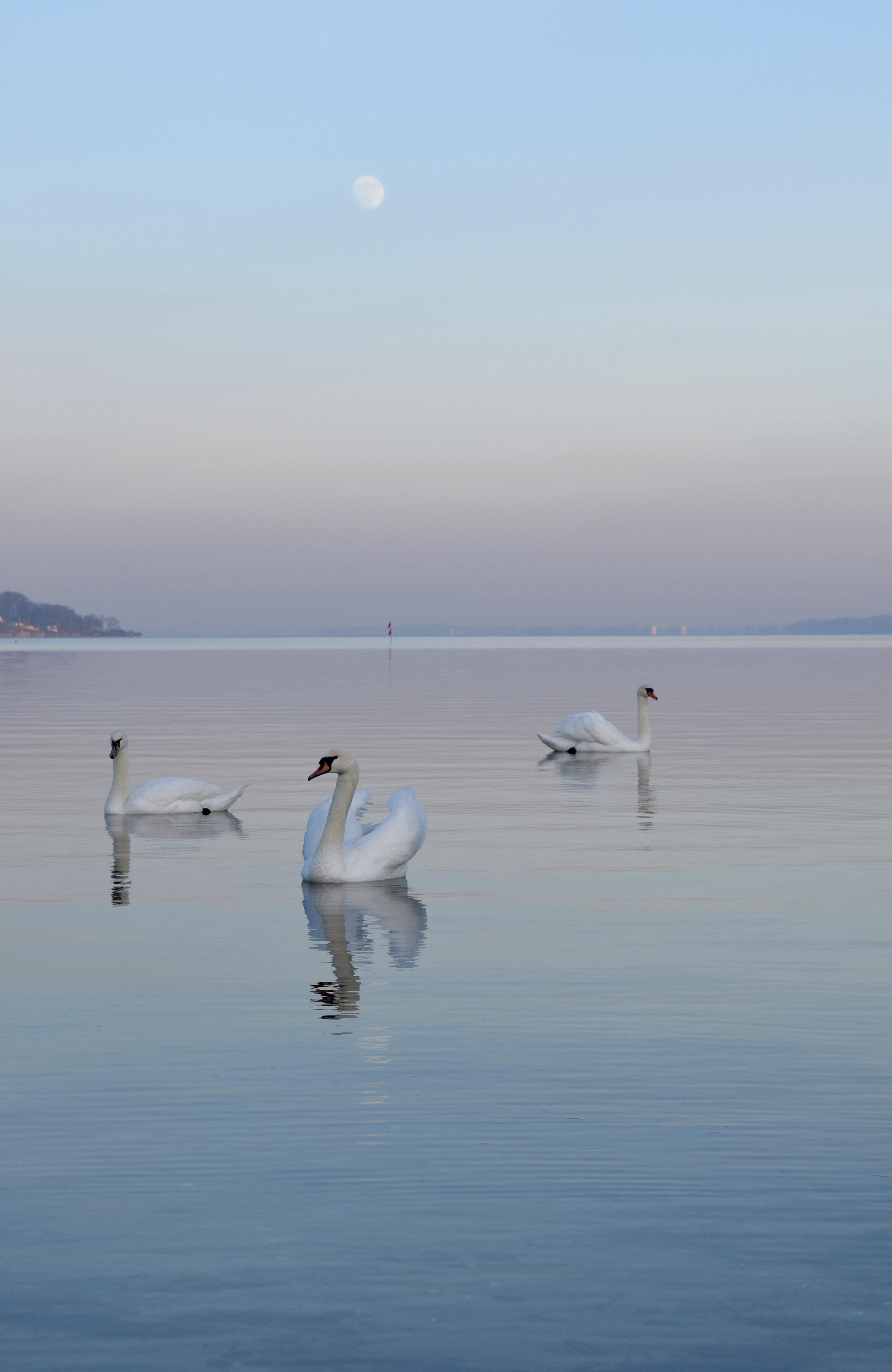 112135 Hintergrundbild herunterladen Tiere, Vögel, Wasser, Swans, Schwimmen, Horizont, Nebel - Bildschirmschoner und Bilder kostenlos