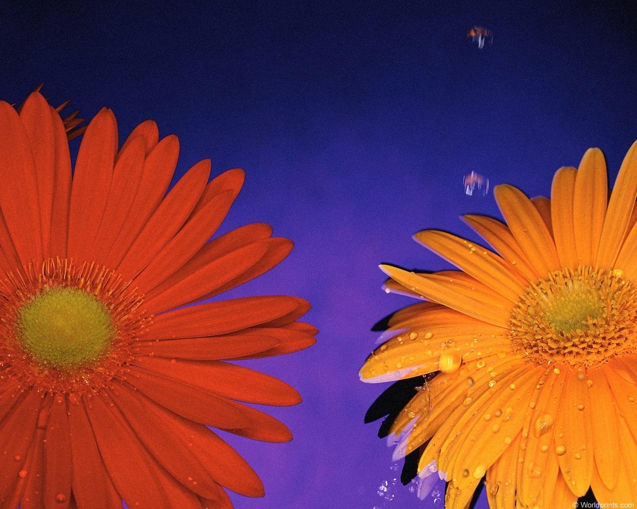 2871 скачать обои Растения, Цветы - заставки и картинки бесплатно