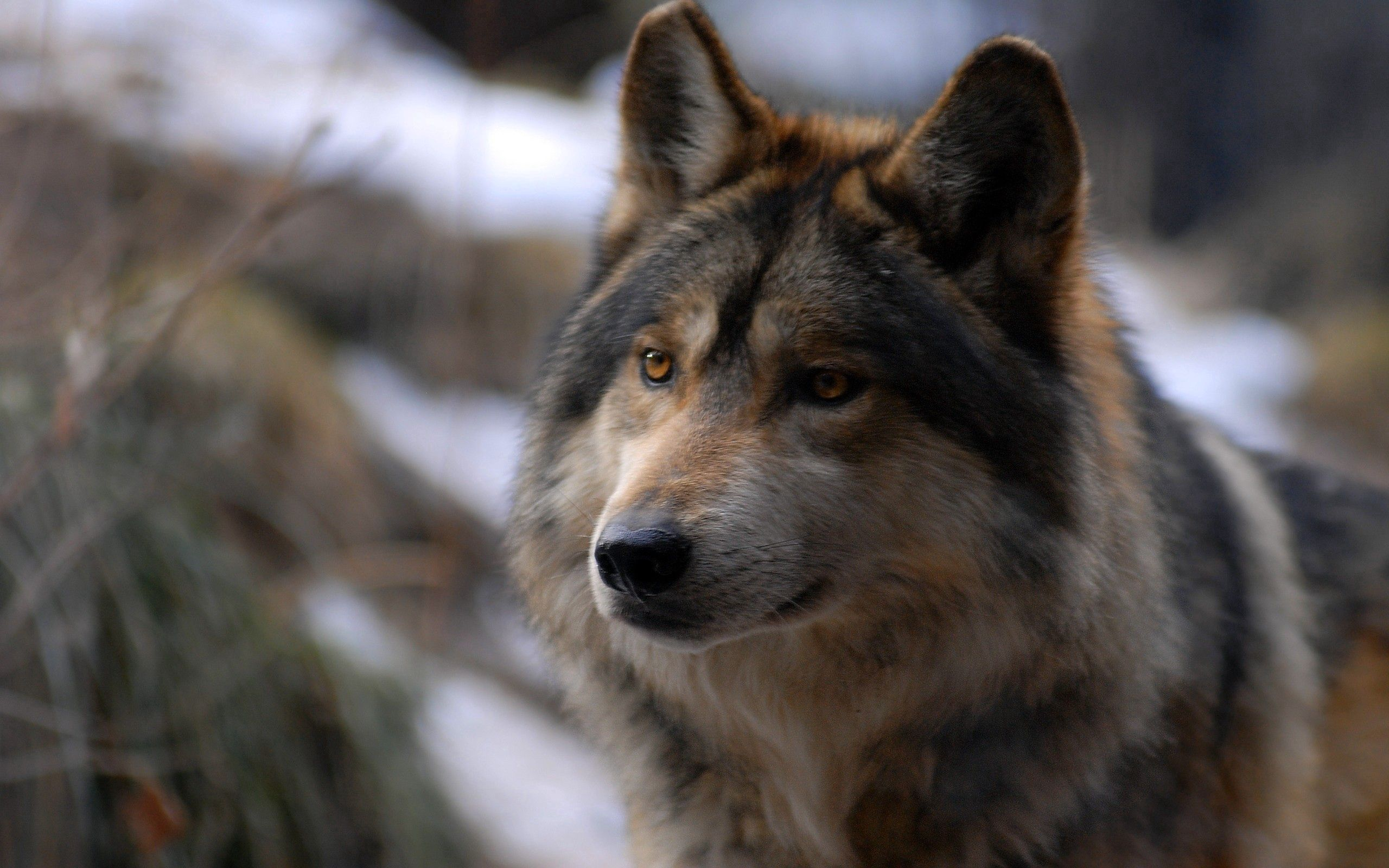 99042 download wallpaper Animals, Wolf, Sight, Opinion, Wild, Spotted, Spotty screensavers and pictures for free