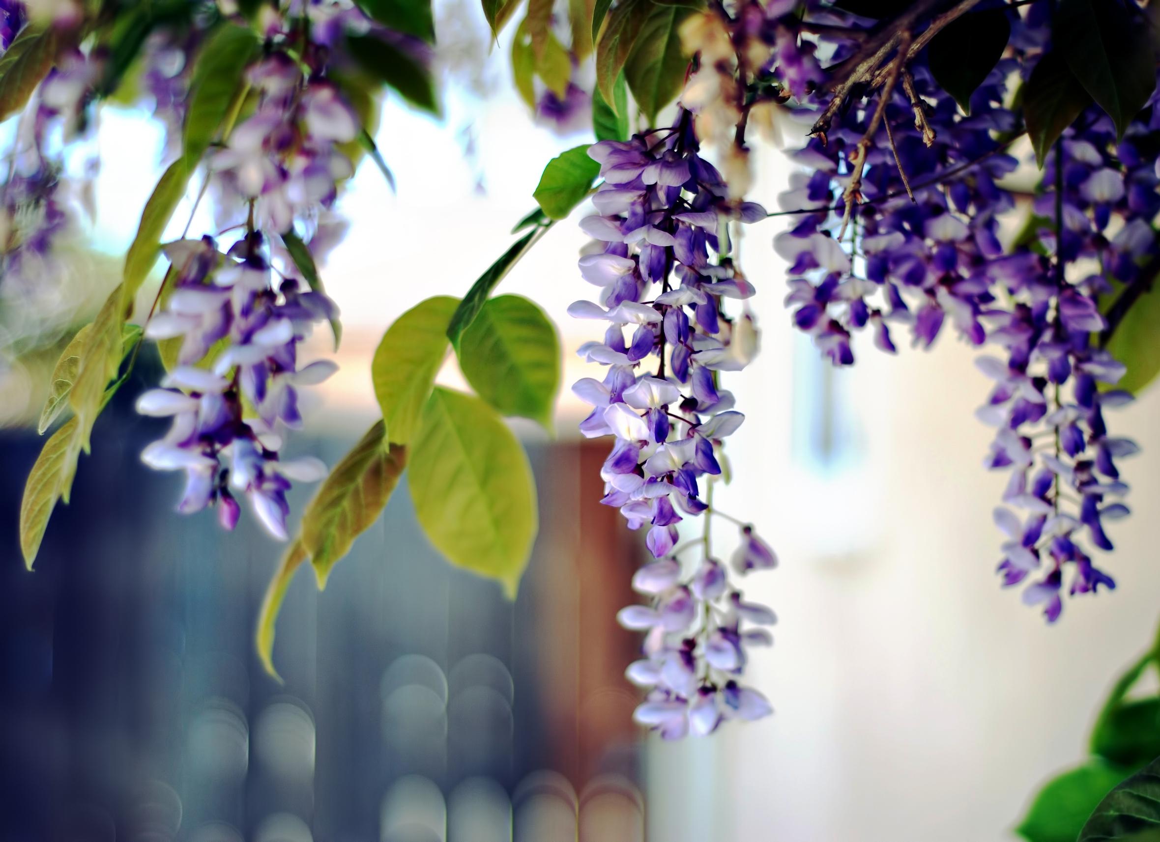 97934 скачать обои Цветы, Акация, Листья, Гроздья, Растение, Ветка - заставки и картинки бесплатно