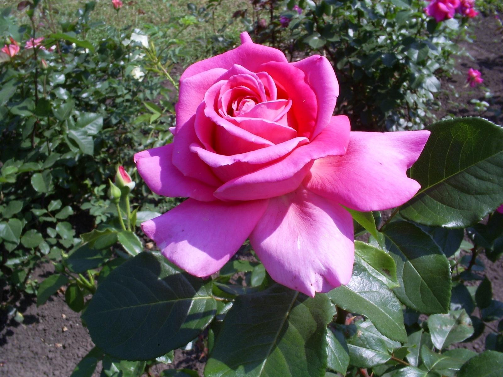 2807 скачать обои Растения, Цветы, Розы - заставки и картинки бесплатно