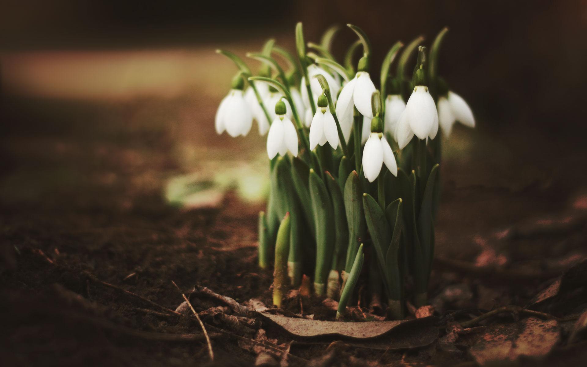 20621 скачать обои Растения, Цветы, Подснежники - заставки и картинки бесплатно