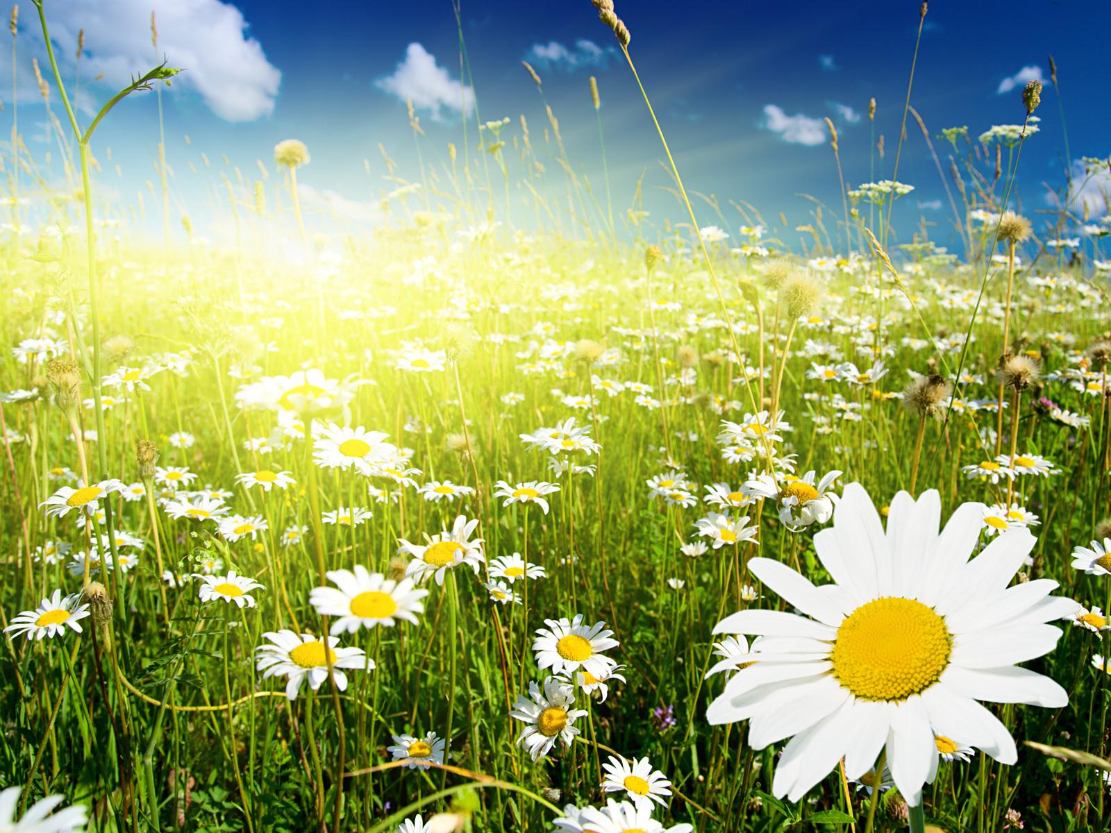 17993 скачать обои Растения, Цветы, Трава, Ромашки - заставки и картинки бесплатно