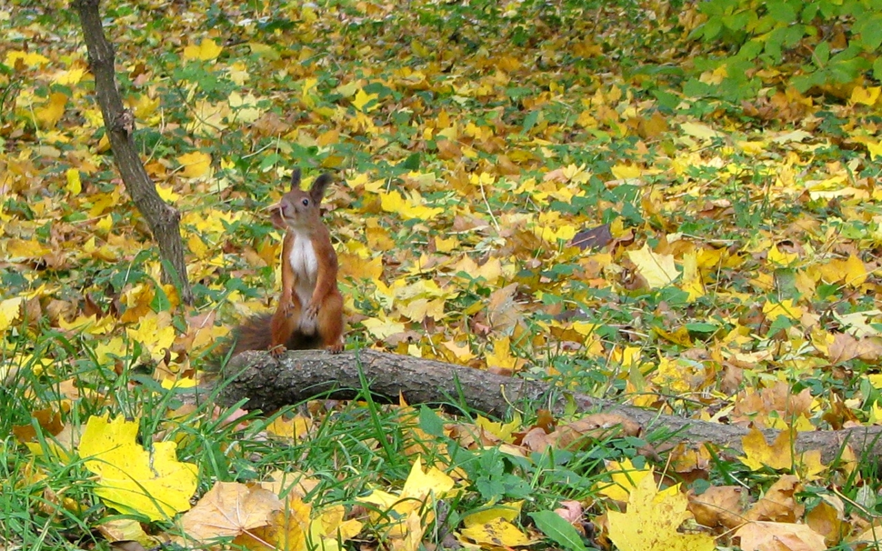 34968 download wallpaper Animals, Squirrel screensavers and pictures for free