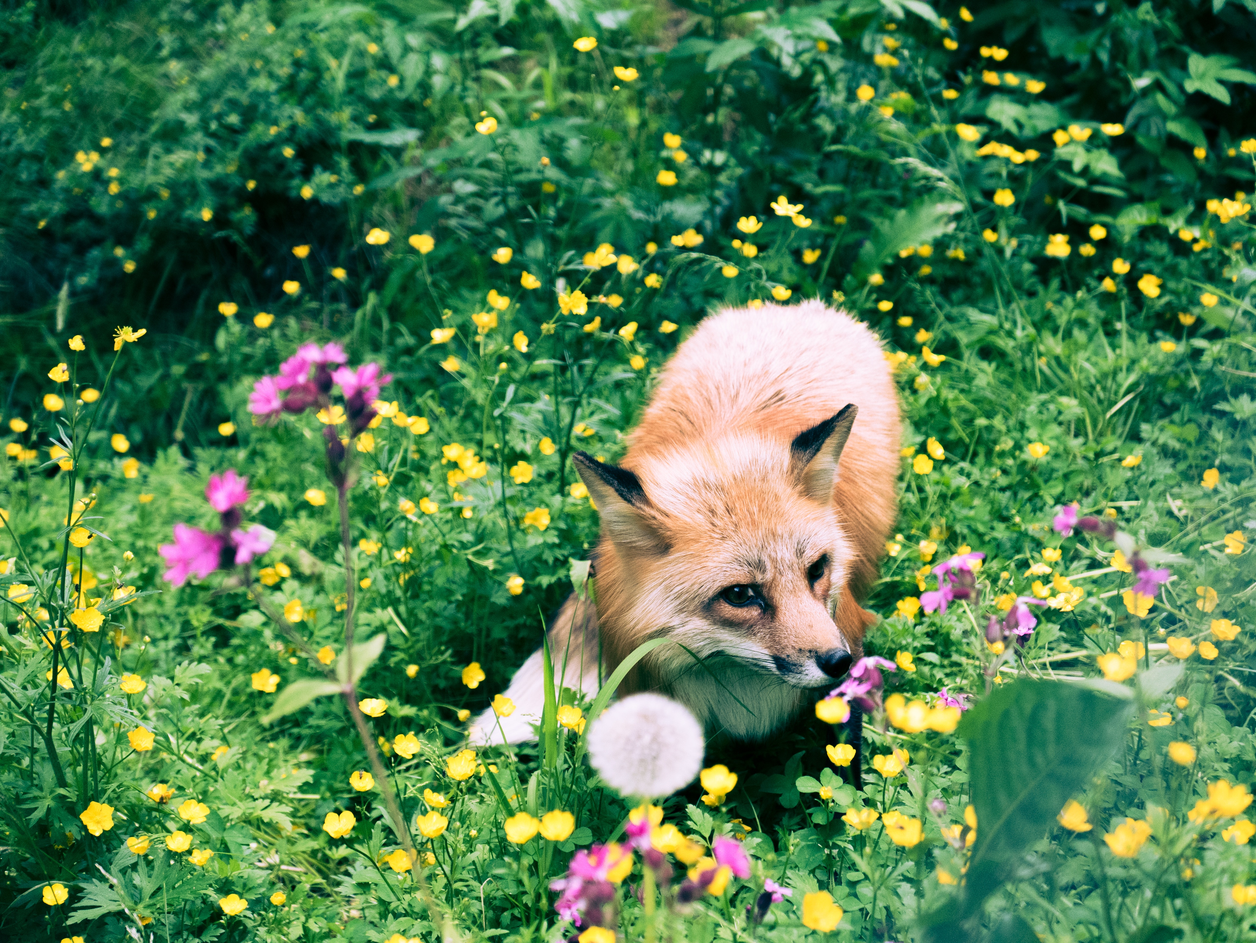 74037 download wallpaper Animals, Fox, Grass, Wildlife, Beast, Flowers screensavers and pictures for free