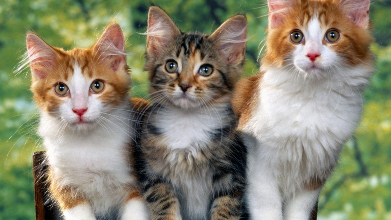 49036 download wallpaper Animals, Cats screensavers and pictures for free