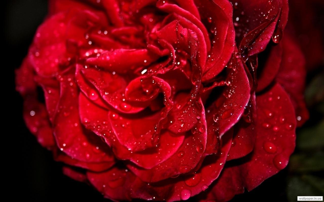 24470 télécharger le fond d'écran Plantes, Fleurs, Roses, Drops - économiseurs d'écran et images gratuitement