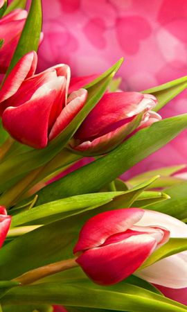 43404 скачать обои Растения, Цветы, Тюльпаны - заставки и картинки бесплатно