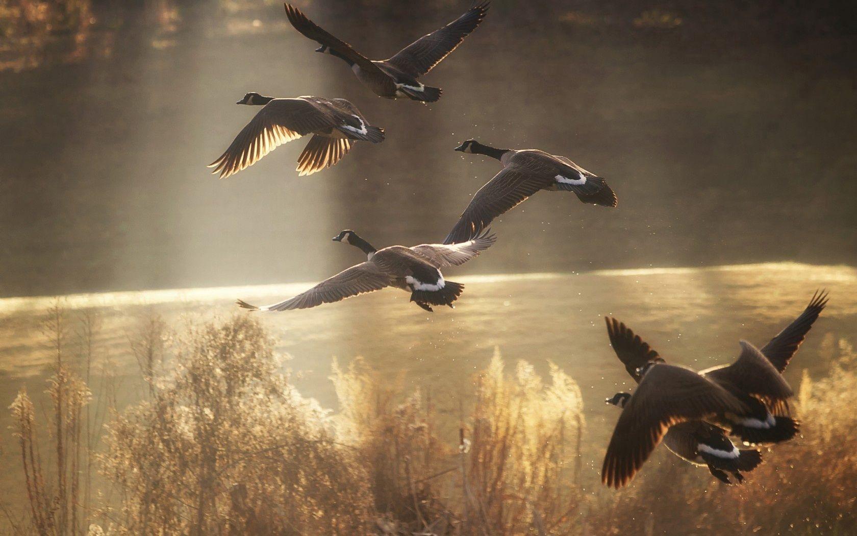 101800 скачать обои Утки, Животные, Природа, Птицы, Полет - заставки и картинки бесплатно