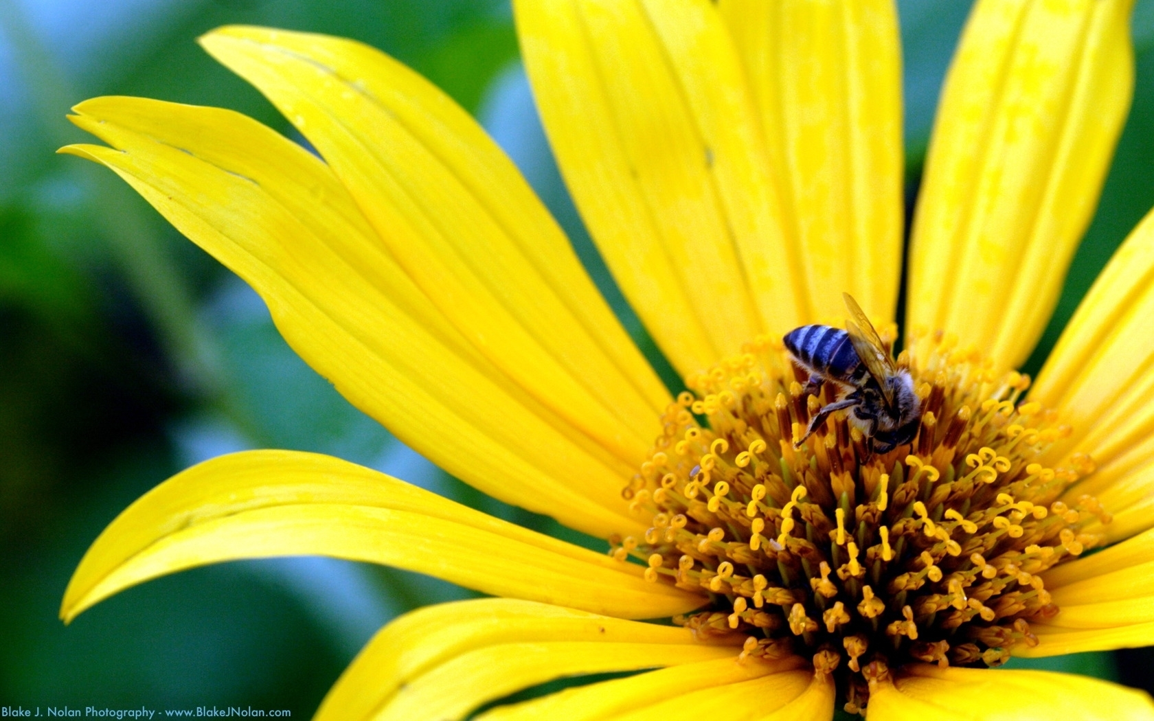 8879 Screensavers and Wallpapers Bees for phone. Download Plants, Flowers, Insects, Bees pictures for free