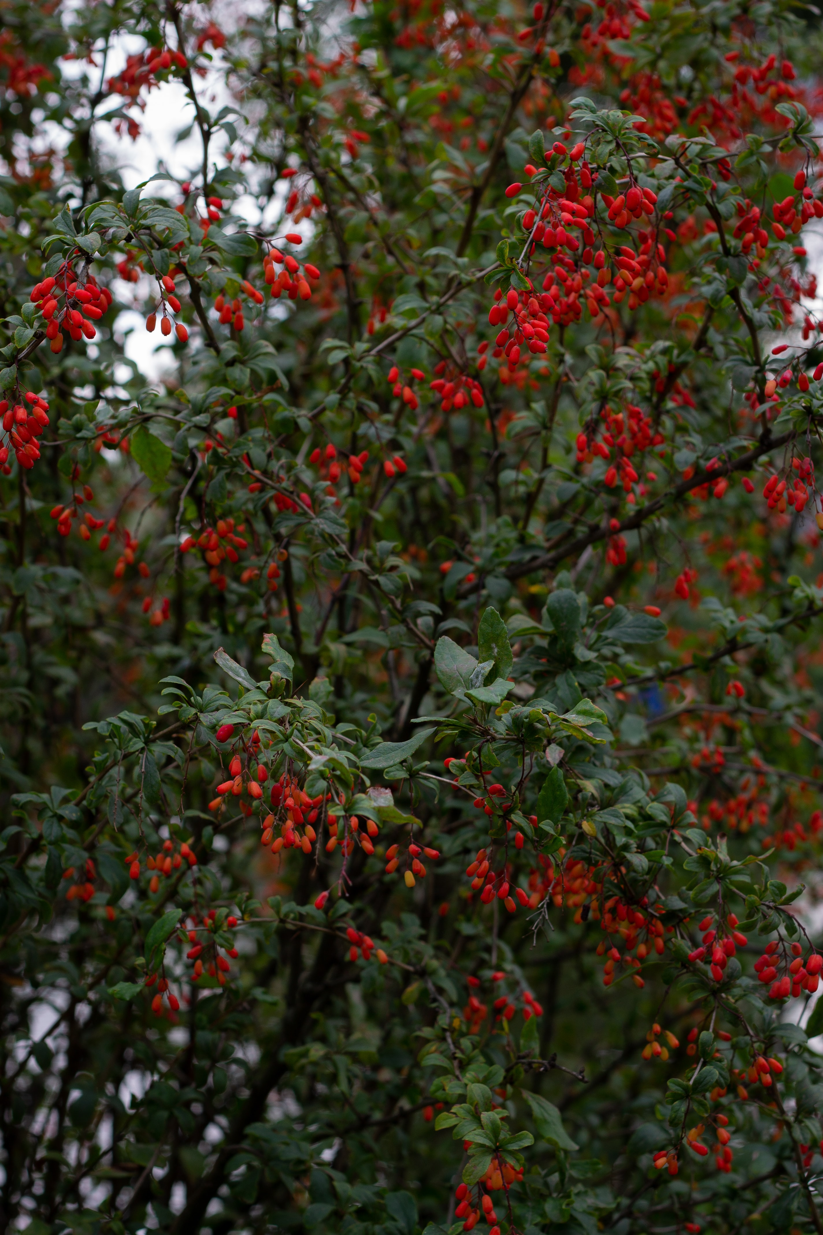 153289 download wallpaper Nature, Barberry, Branches, Wood, Tree, Berries screensavers and pictures for free