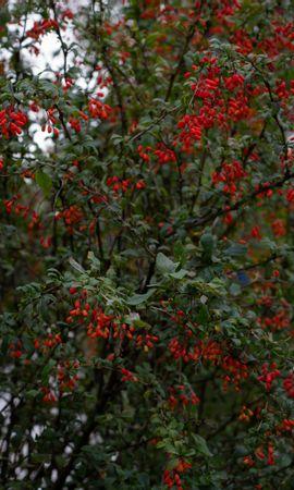 153289 télécharger le fond d'écran Nature, L'épine-Vinette, Épine-Vinette, Branches, Bois, Arbre, Baies - économiseurs d'écran et images gratuitement