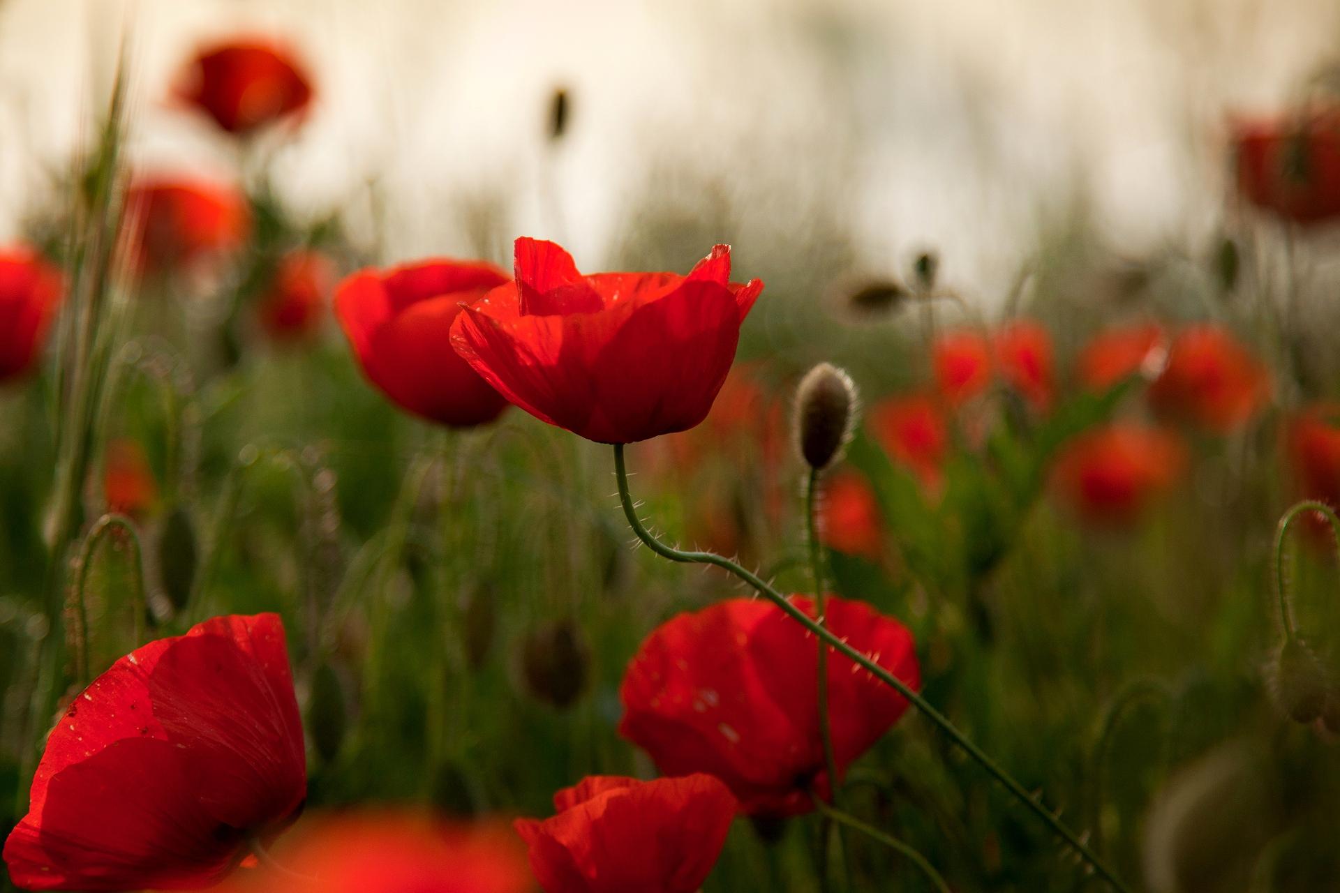 77084 descargar fondo de pantalla Flores, Amapolas, Verduras, Campo: protectores de pantalla e imágenes gratis
