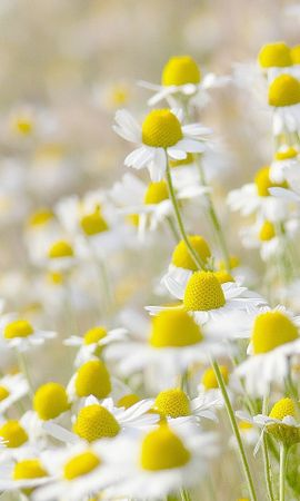 42535 télécharger le fond d'écran Plantes, Fleurs, Camomille - économiseurs d'écran et images gratuitement