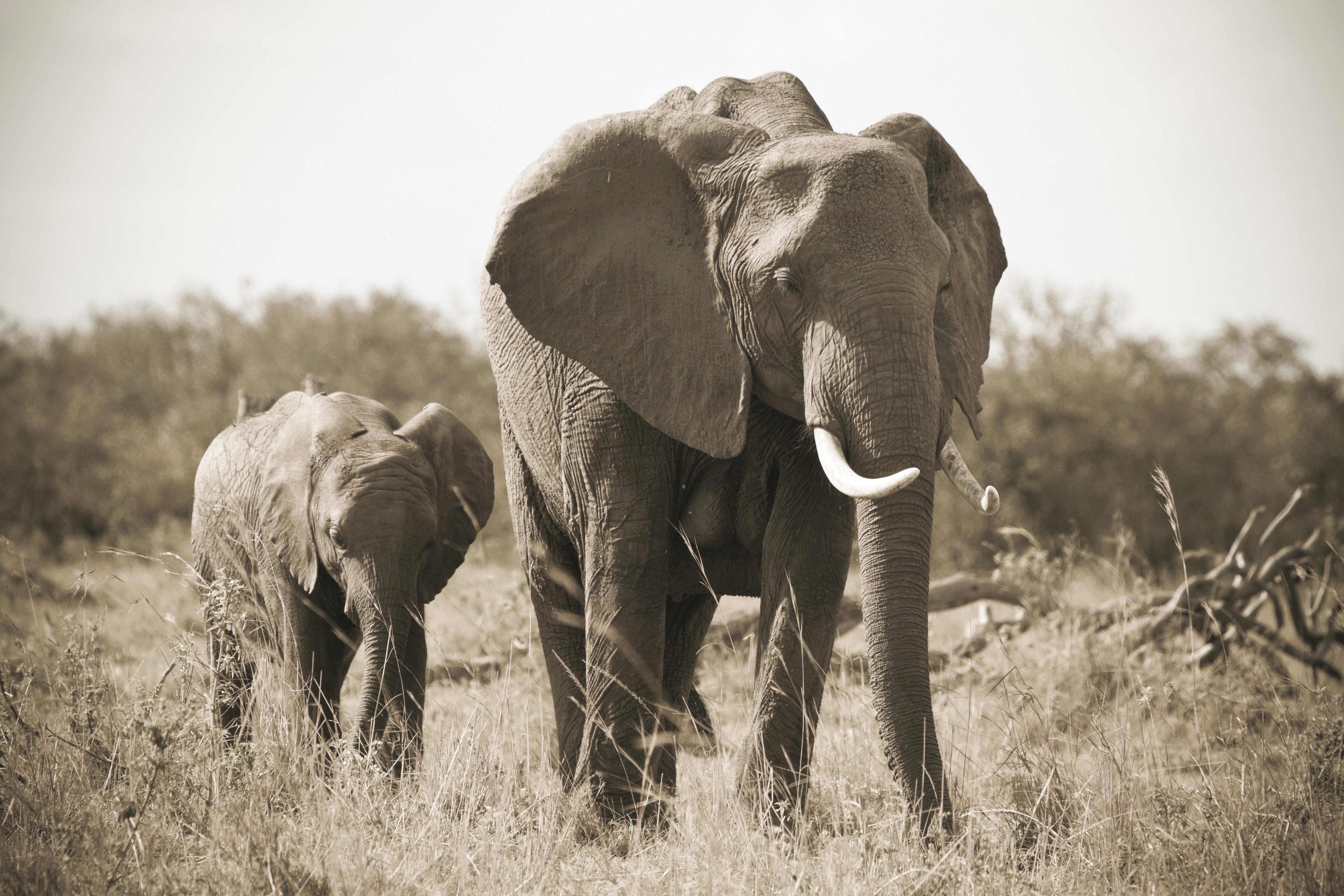 82757 baixar papel de parede Animais, Elefante, Elefante Bébé, Bezerro Elefante, Natureza, Preto E Branco, Presas - protetores de tela e imagens gratuitamente