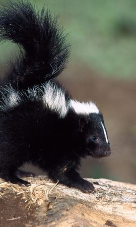 9426 download wallpaper Animals, Skunks screensavers and pictures for free