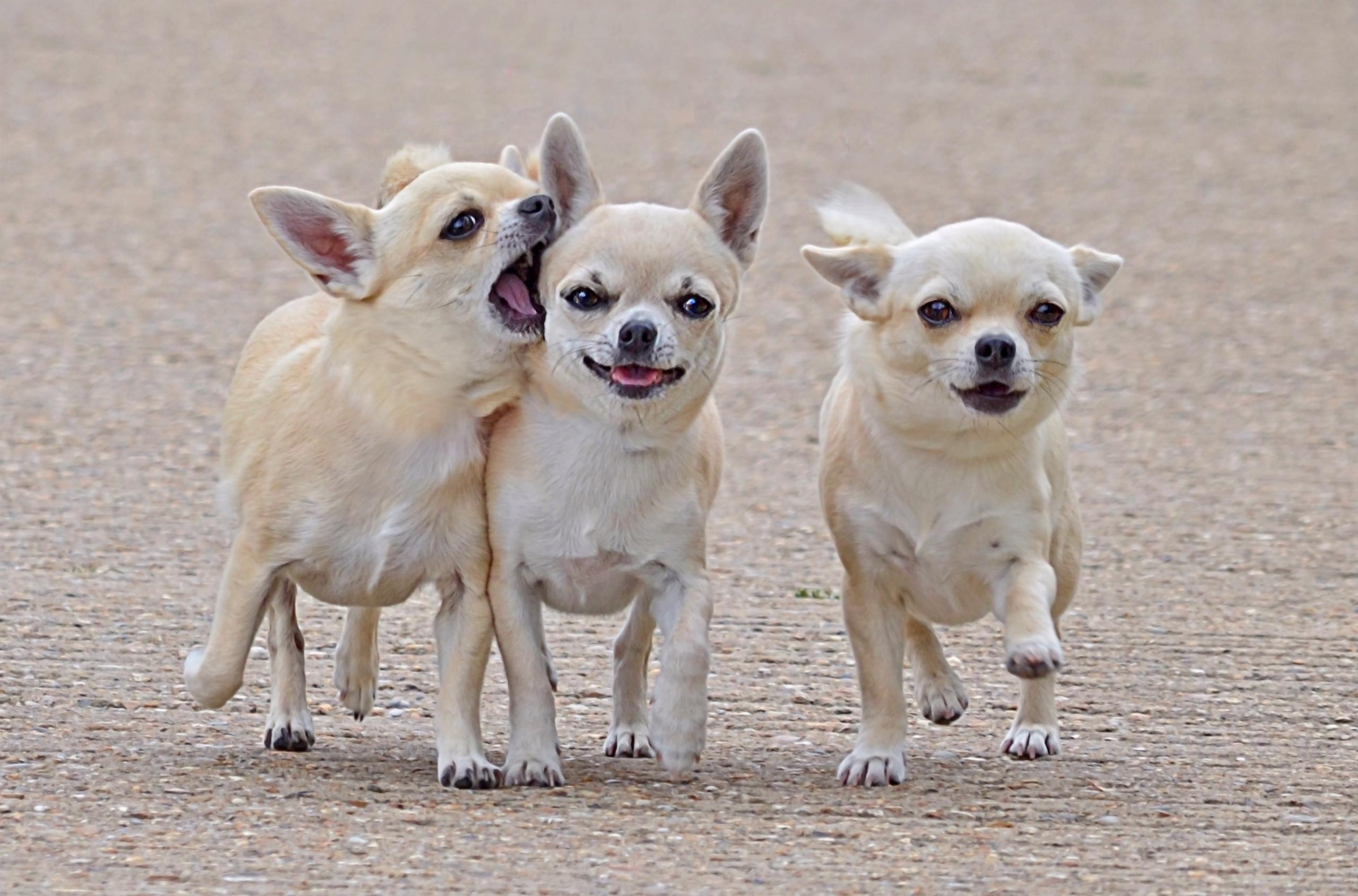 155131 скачать обои Животные, Чихуахуа, Трое, Друзья, Товарищи, Собаки, Прогулка - заставки и картинки бесплатно