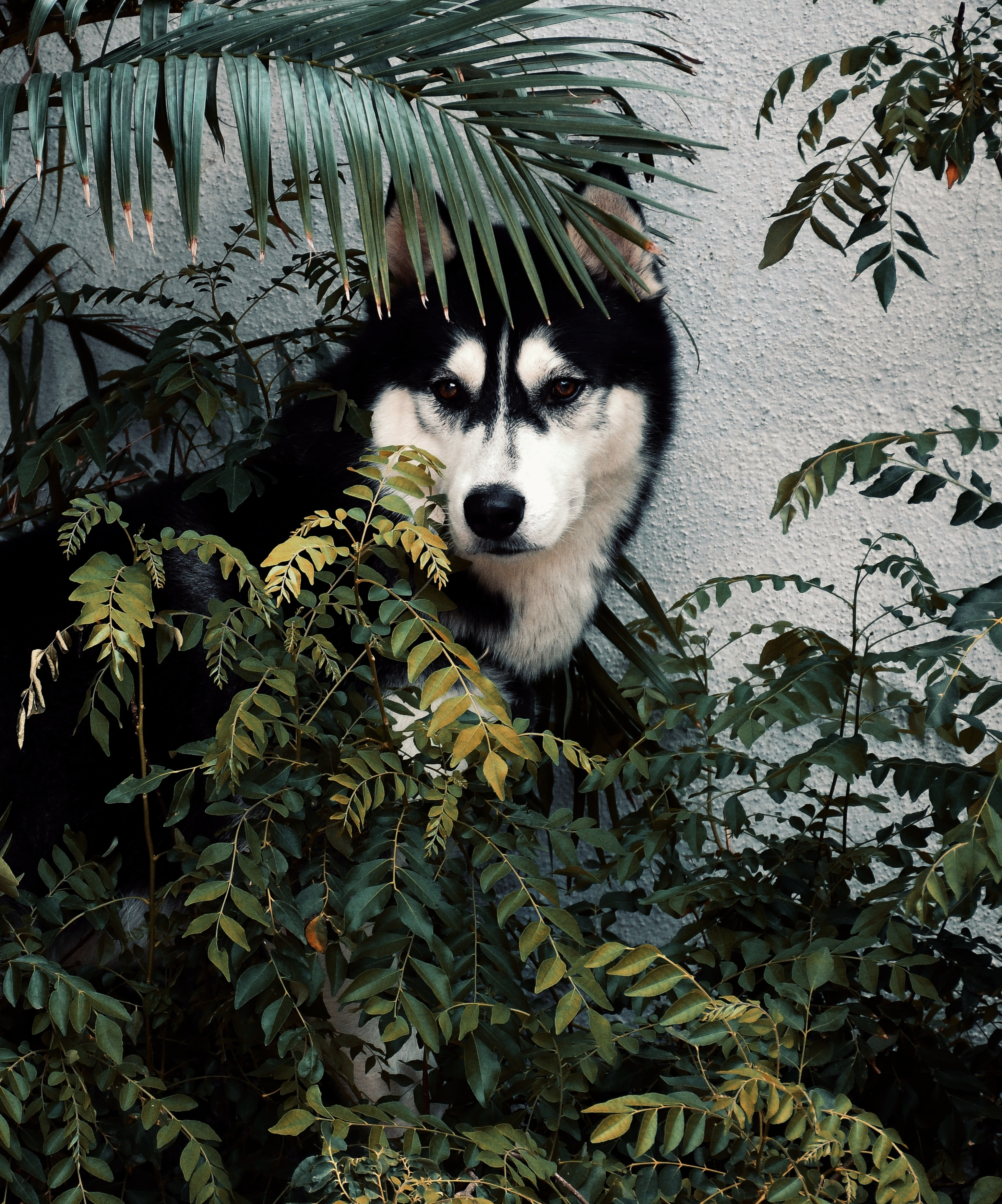 54323 download wallpaper Animals, Husky, Dog, Pet, Bush screensavers and pictures for free