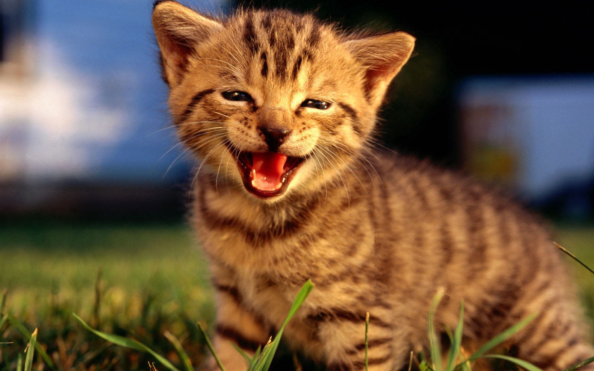 154949 download wallpaper Animals, Kitty, Kitten, Muzzle, Scream, Cry, Fluffy screensavers and pictures for free