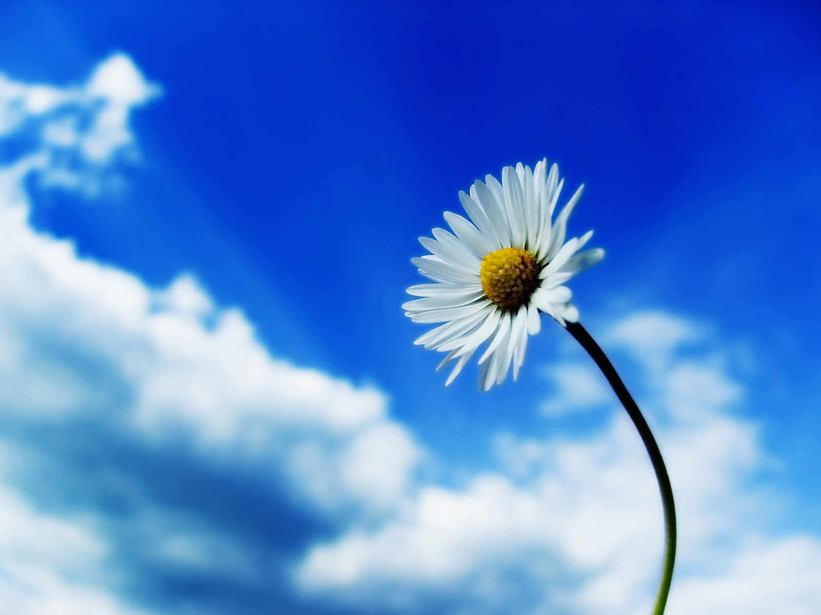 10691 download wallpaper Plants, Flowers, Camomile screensavers and pictures for free