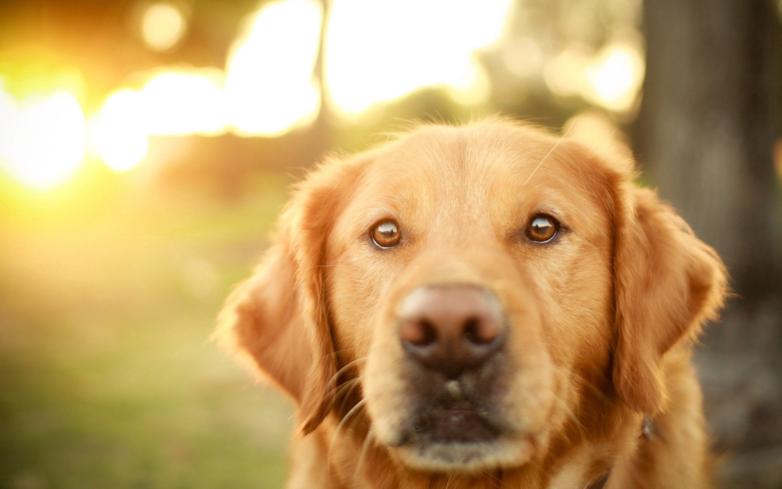 85315 download wallpaper Animals, Dog, Muzzle, Sight, Opinion, Fidelity, Sunlight screensavers and pictures for free