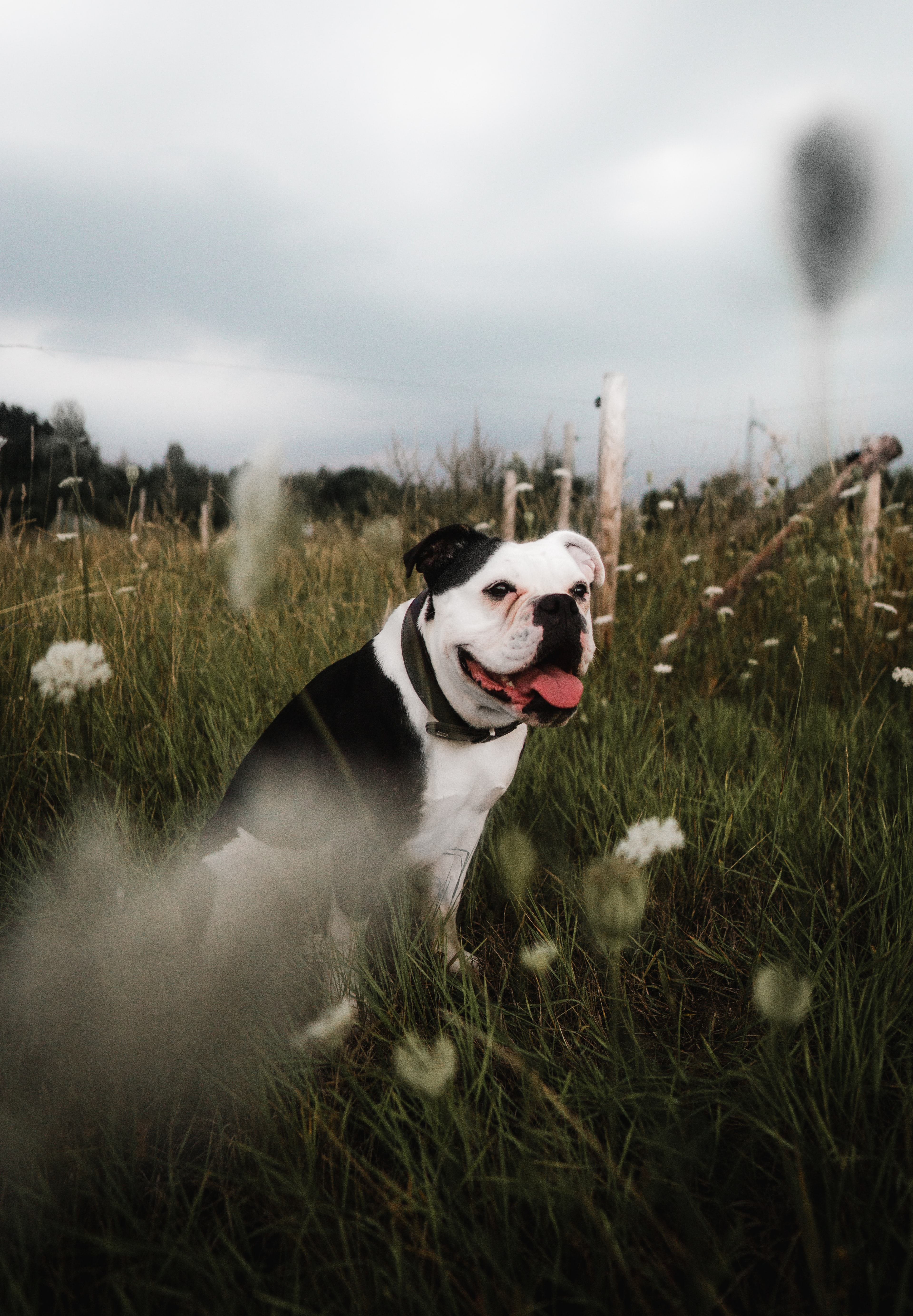 152964 download wallpaper Animals, Bulldog, Pet, Protruding Tongue, Tongue Stuck Out, Grass screensavers and pictures for free