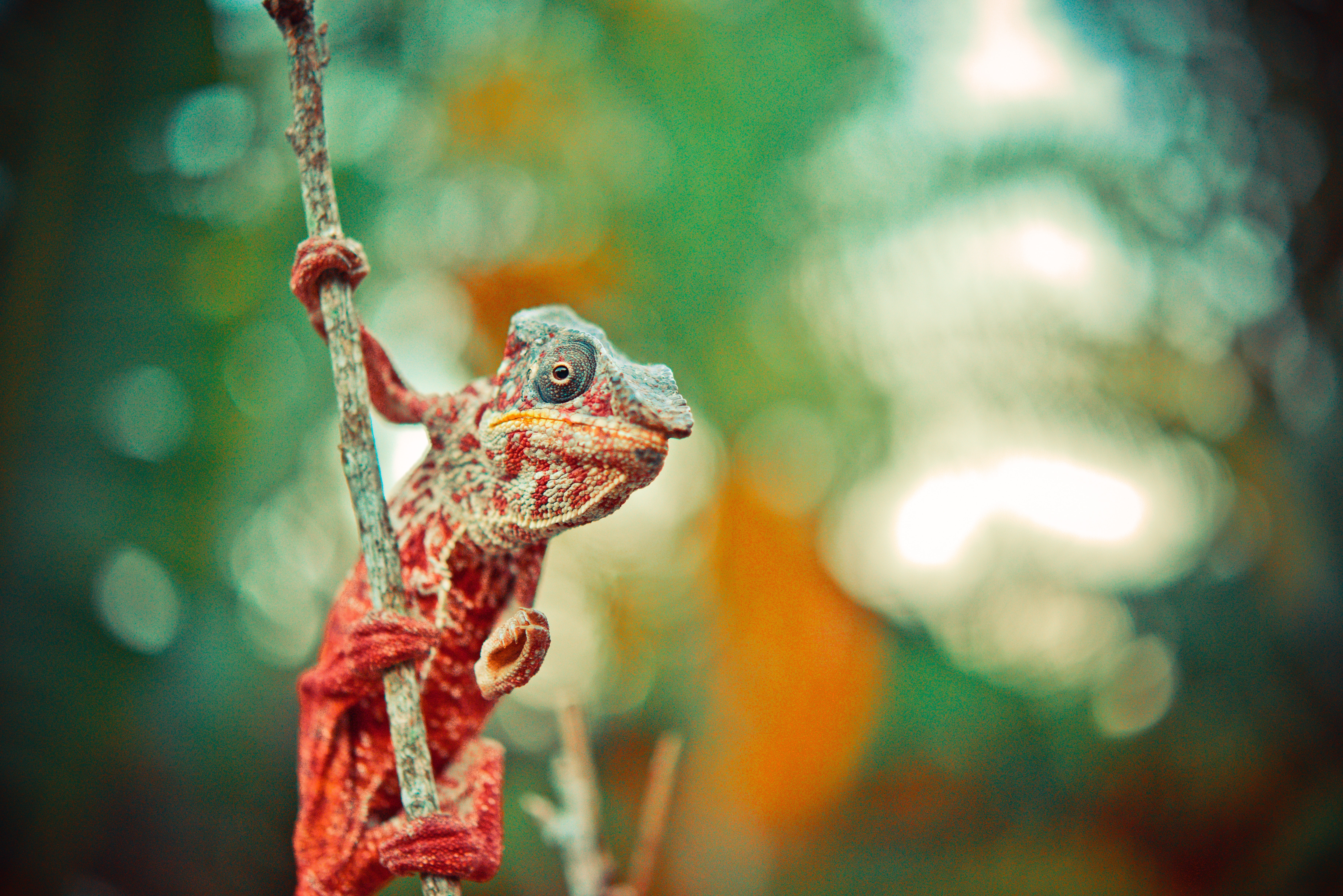 142678 Screensavers and Wallpapers Color for phone. Download Animals, Color, Lizard, Reptile, Chameleon pictures for free