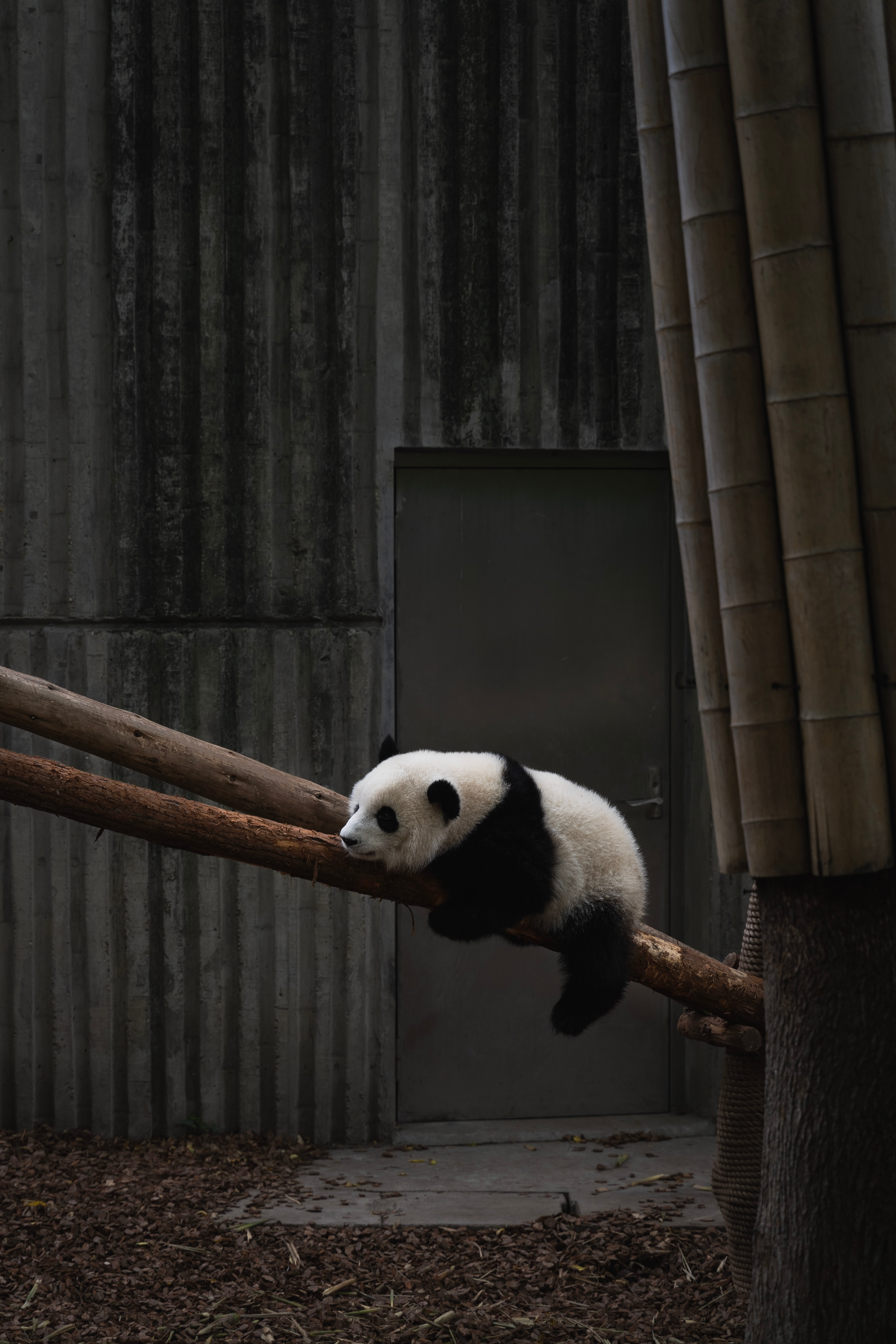 146839 download wallpaper Animals, Panda, Animal, Wood, Tree, Bamboo screensavers and pictures for free