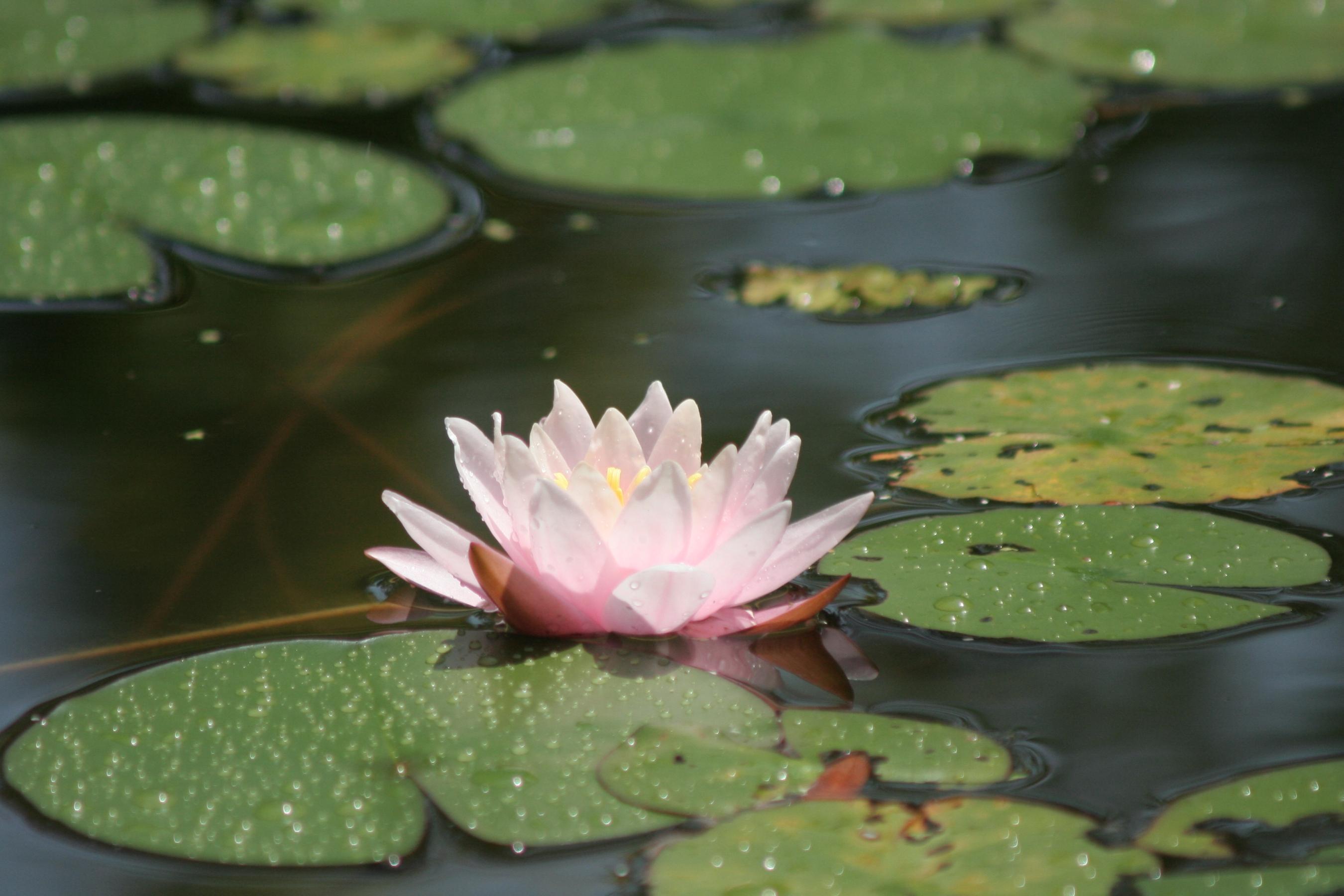 61986 скачать обои Цветы, Кувшинка, Вода, Листья, Капли, Болото, Блики - заставки и картинки бесплатно