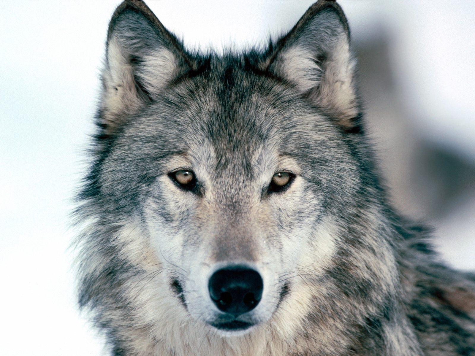 4432 скачать обои Волки, Животные - заставки и картинки бесплатно