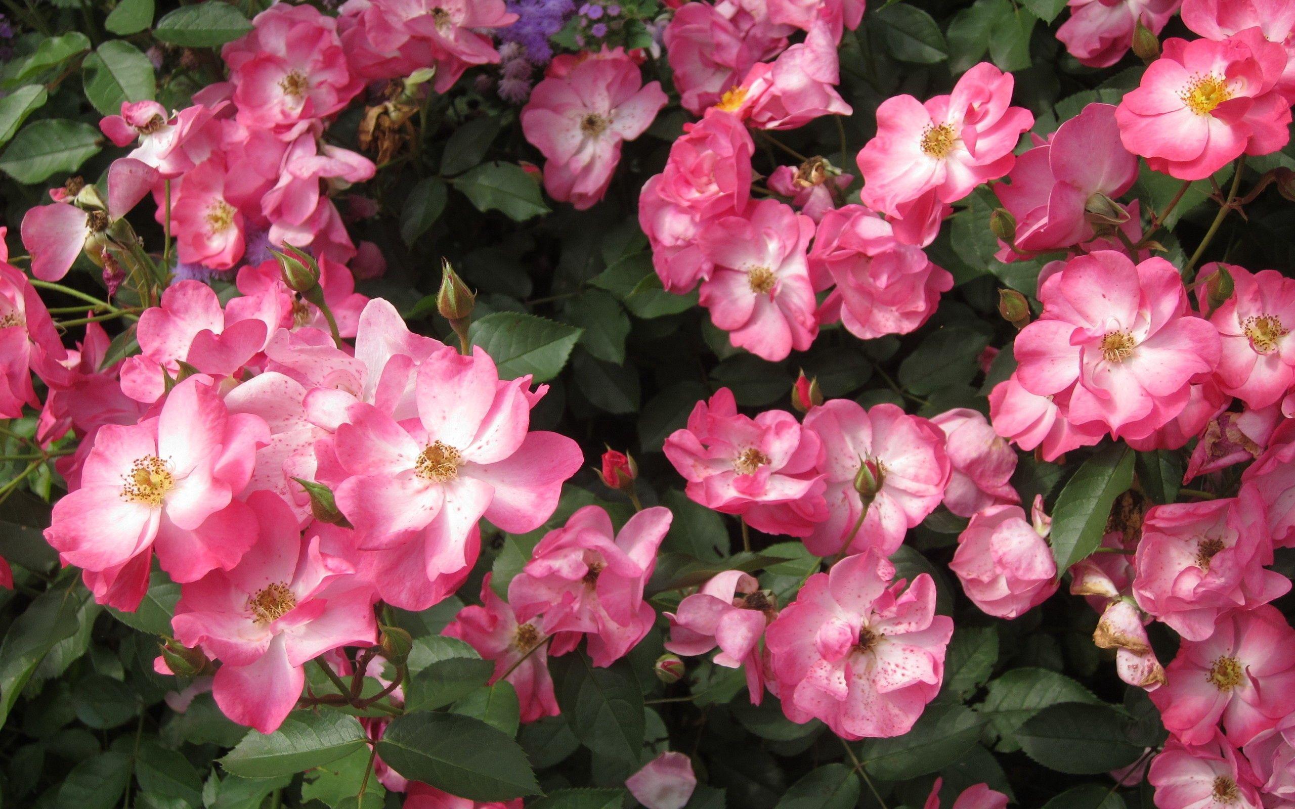 89012 скачать обои Цветы, Шиповник, Цветение, Кустарник, Листья - заставки и картинки бесплатно